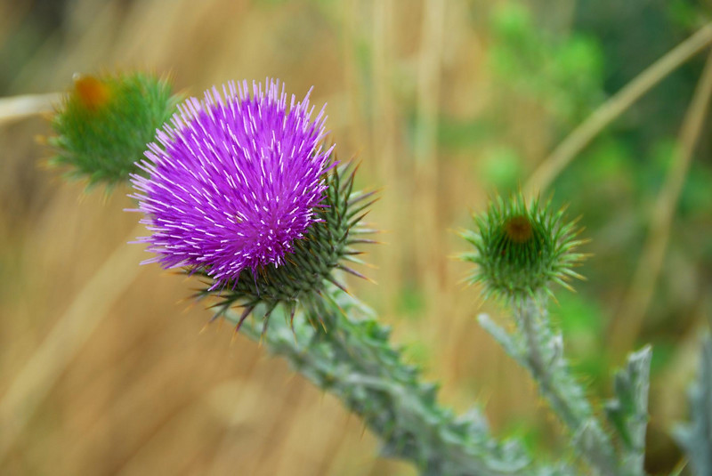 6/30/07 – The bright purple of this thistle in bloom caught my eye. It is amazing how a noxious weed could produce something this beautiful.