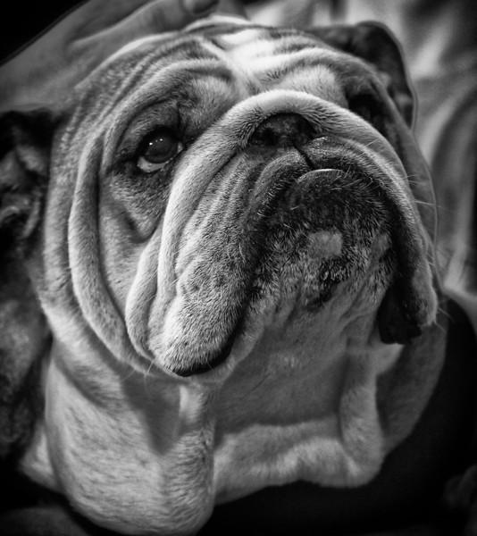 Porterhouse Drake Bulldog