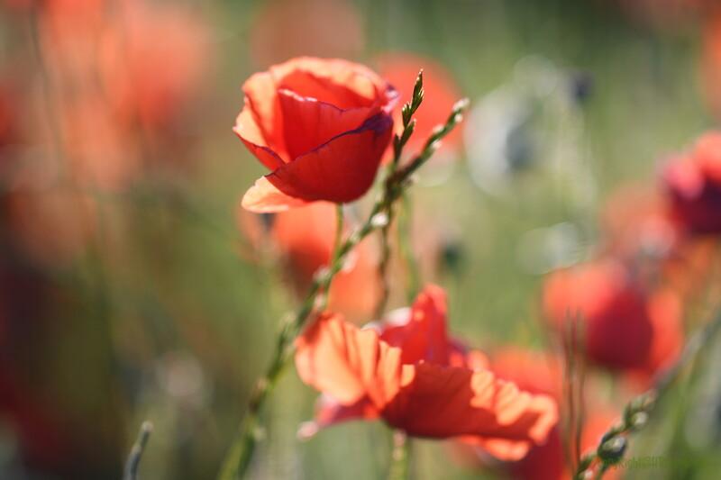 Poppys_Morges_08062019 (50).JPG