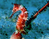Thorny Seahorse<br /> Philippines