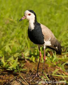 Long-toed Lapwing, Kenya