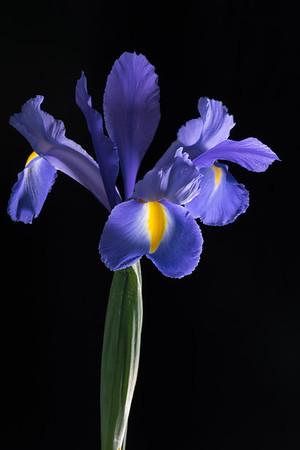 Dutch Iris-Sapphire Beauty 5.3.18