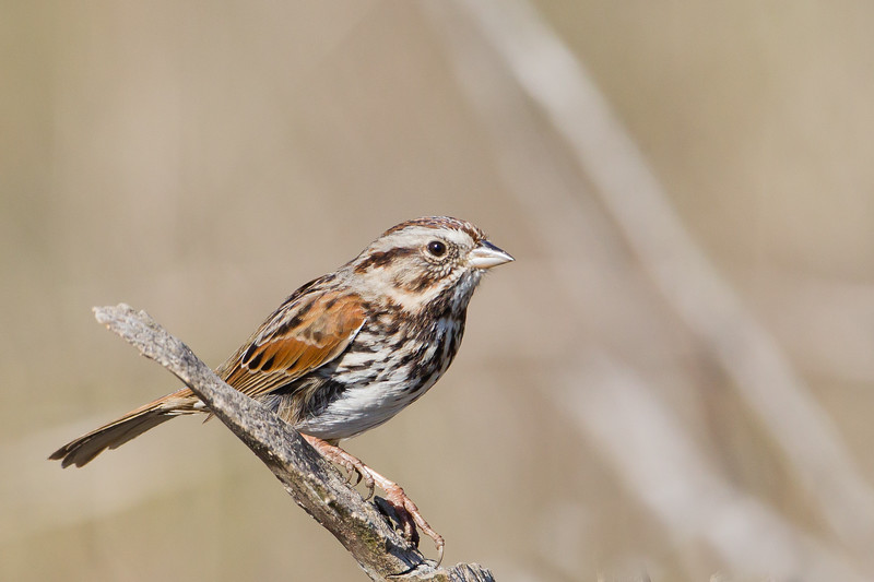 Song Sparrow - Cascade Ranch, San Mateo County, CA, USA
