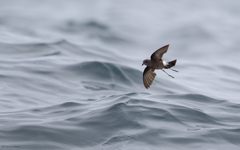 Isles of Scilly Seabird Pelagics, August 2017