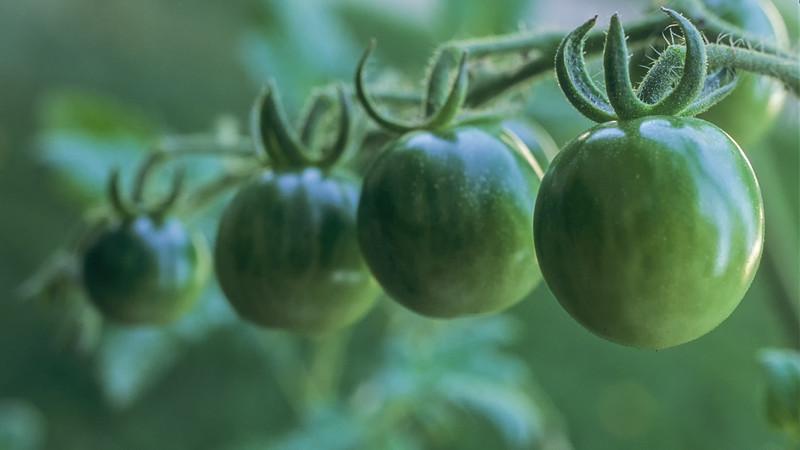 four green tomatoes.jpg