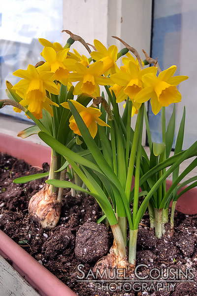 The daffodils in Colluci's window box have bloomed and are quite pretty.