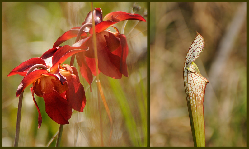 They didn't burn the bog this year, so we didn't see as many pitcher plants, but had a fun time anyway.