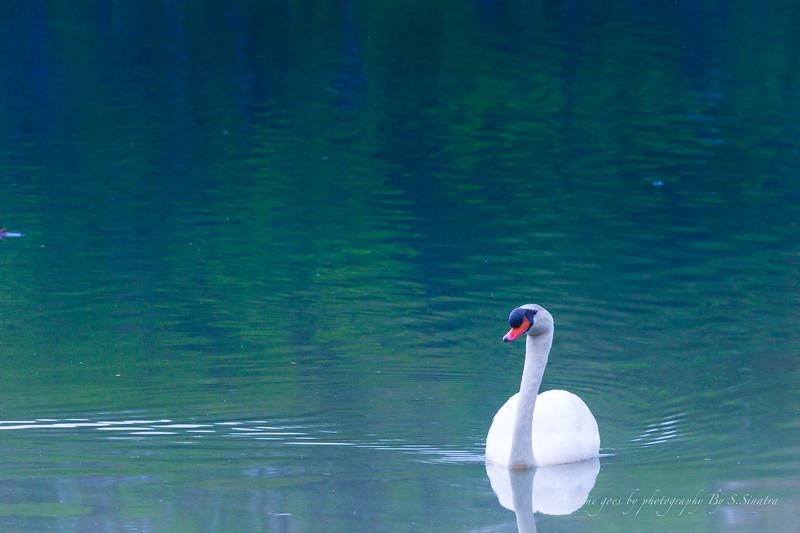 mute swan signed-42.JPG