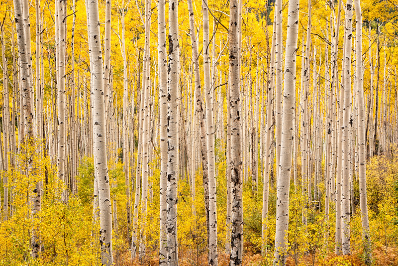 Aspens, Study 2, Colorado