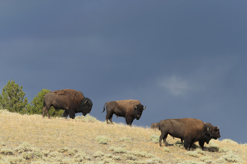 Ominous clouds and a herd of bison blocking the highway.  What more could you want from a drive through Yellowstone National Park?