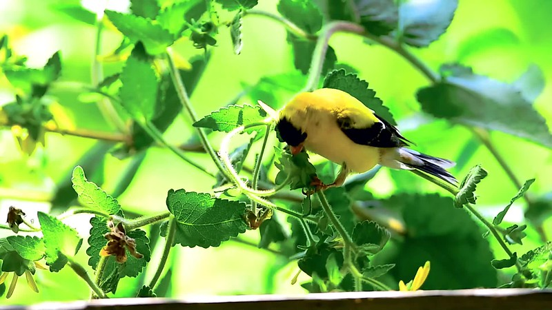 GOLDFINCH - 1080-24-16Mbps.mp4