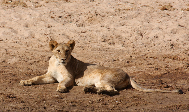 This was a very exciting moment for me!   Our very first lion sighting!!!!!