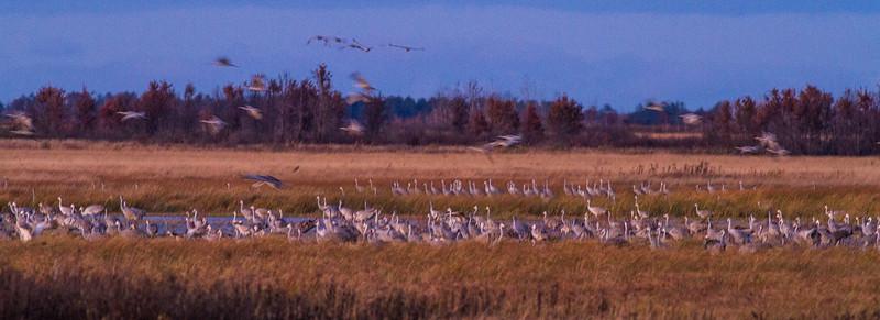 Sandhill Crane flock roosting at dusk Crex Meadows Grantsburg WI IMG_2297.jpg