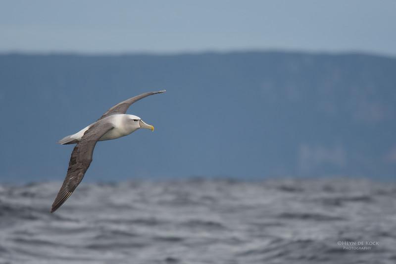 Shy Albatross, Eaglehawk Neck Pelagic, TAS, Sept 2016.jpg