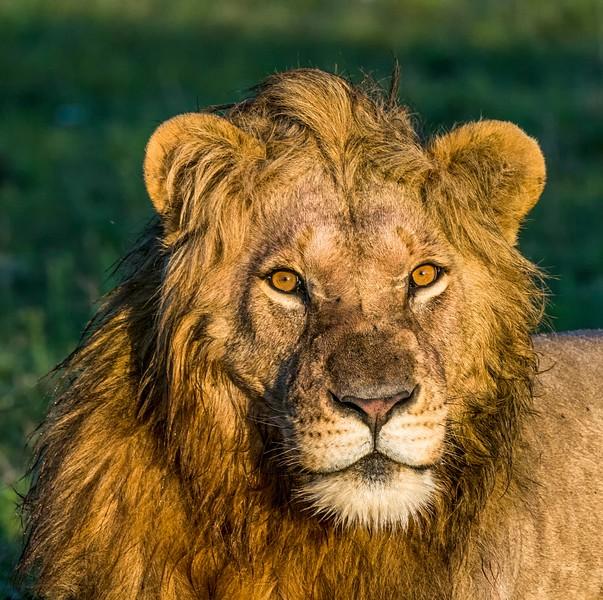 Lions-7.jpg