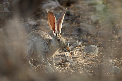 Black-Tailed Jack Rabbits