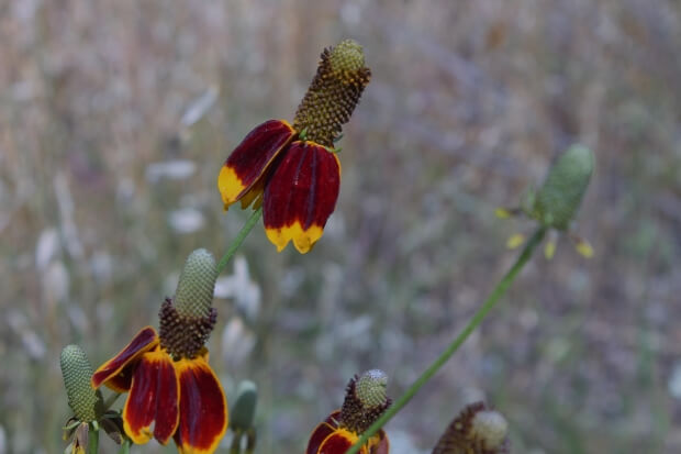 Mexican Hat Flowers attract birds and butterflies to your backyard gardens.