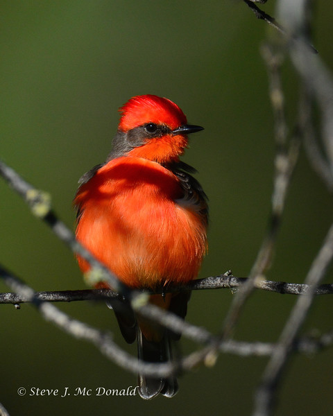 Vermillion flycatcher 1/25/16