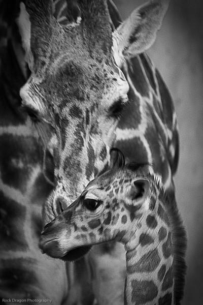 Baby Giraffe and it's mother, Calgary Zoo Dec. 27