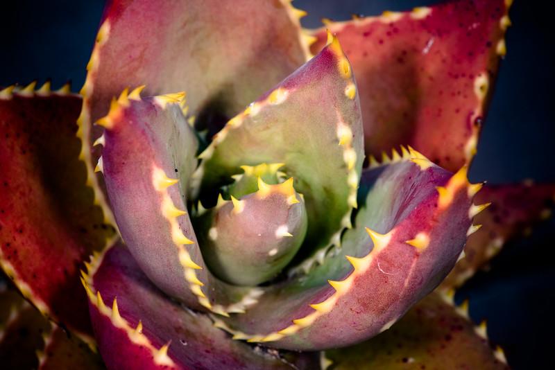 Aloe distans DSC_2074.jpg