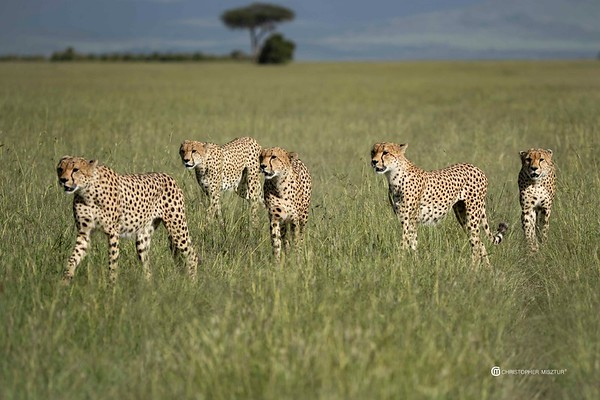 A group of cheetahs form an orderly line as they walk across a nature reserve, looking for a meal.