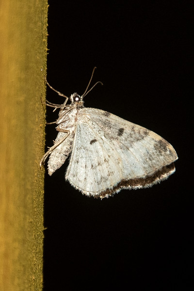 Spring Moth-Bluish-(lomographa semiclara)- Dunning Lake - Itasca County, MN
