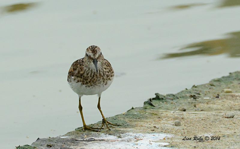 Least Sandpiper  - 7/27/2014 - Morton Bay, Imperial Valley