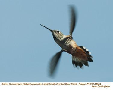 Rufous Hummingbird F72944.jpg