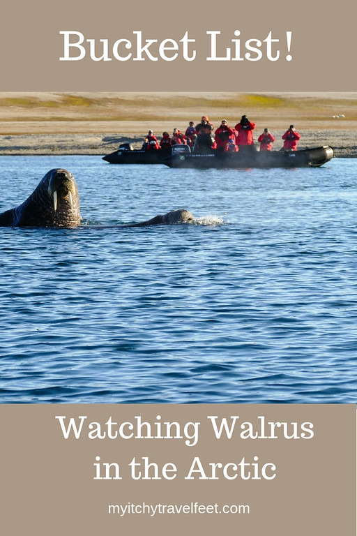 Walrus watching on an Arctic expedition cruise with Silversea.