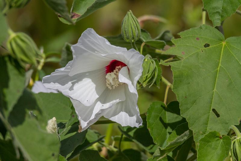 Hibiscus moscheutos - Swamp Rose Mallow