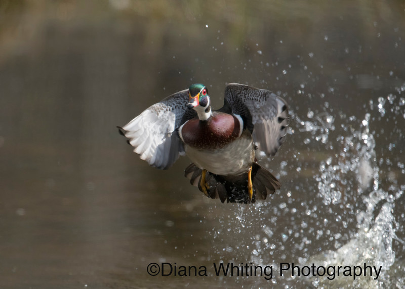 Wood Duck Exploding Out of the Water