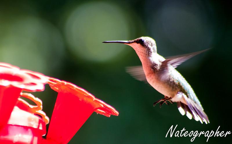 HummingBirds-4216.jpg