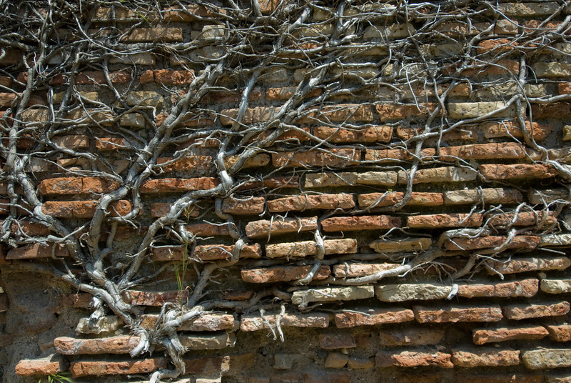 Vines crawling on brick wall at Ostia Antica, Italy