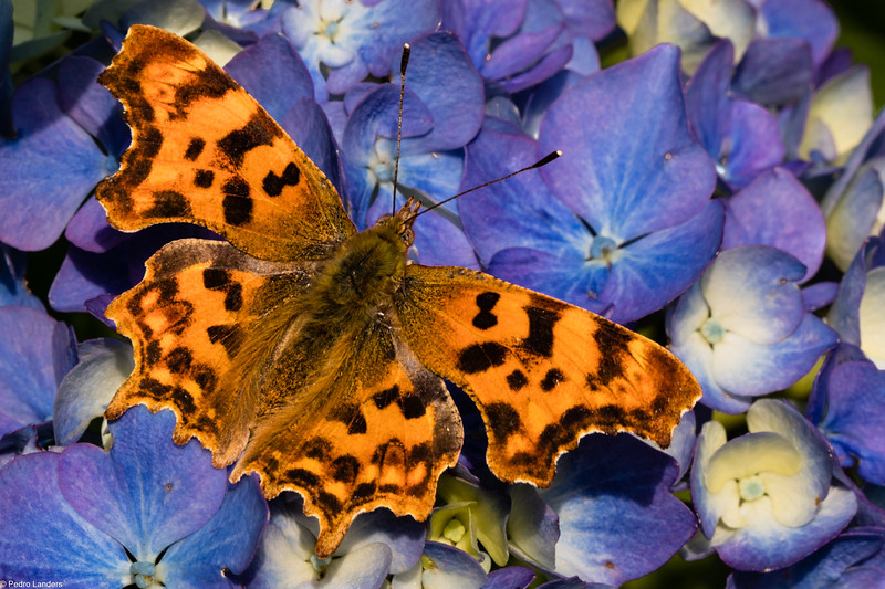 Comma on Hydrangea