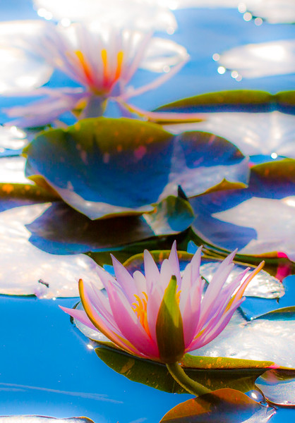 Lily  Pond 51