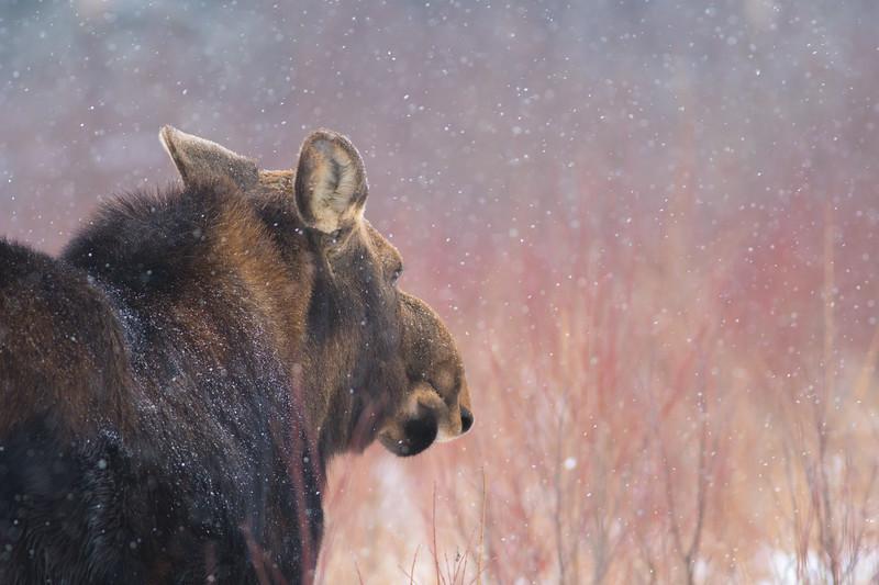 Moose cow yearling in snow Blue Spruce Road Sax-Zim Bog MN DSC02593.jpg