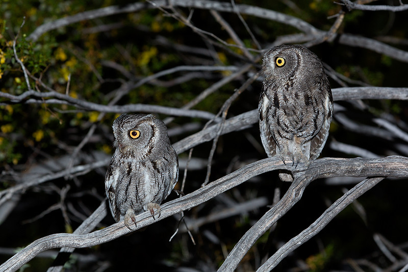 Pair of adult screech owls.  Canon EOS 5D-Mark III, 70-200 mm with 2x teleconverter, ISO 500, f/ 10 @ 1/200 sec., flash