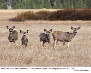 Mule Deer F&J76512,14.jpg