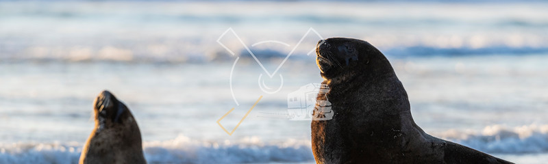 Portrait of bull male of New Zealand Sea Lion relaxing in the evening sun