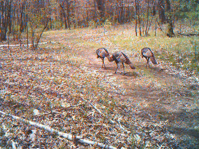 4 jakes on my Bushnell trail camera.