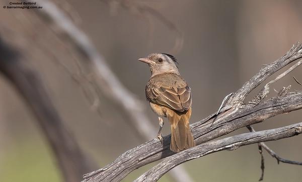 Bellbirds Australo-Papuan Family Oreoicidae