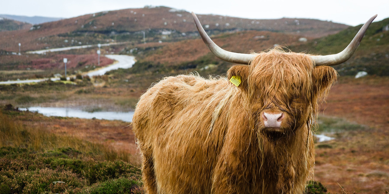 NC500 - Applecross - Highland coos!