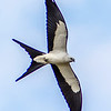 Swallow-tailed Kite - Big Cypress National Preserve - April 2014