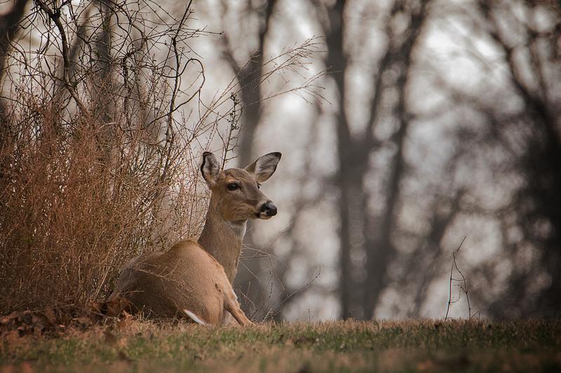2.28.18 - Prairie Creek Recreation Area: Whitetail doe taking a break