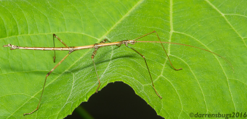 Northern walkingstick, Diapheromera femorata (male), from Iowa.