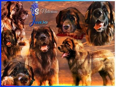 Litter S - Ziva and Juuso (Bluebonnet's Joyful Goose A Laying Ziva x Bluebonnet's Notorious Juuso)