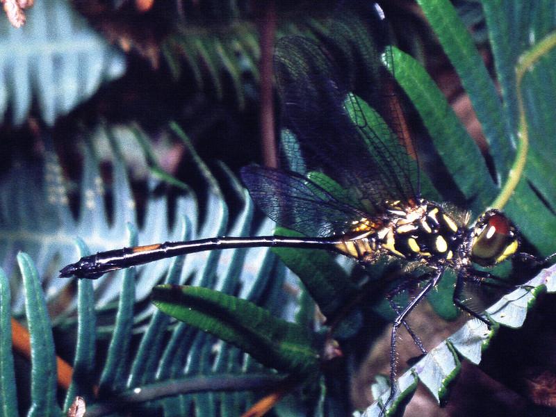 Nesogonia blackburnii (Libellulidae), West Maui