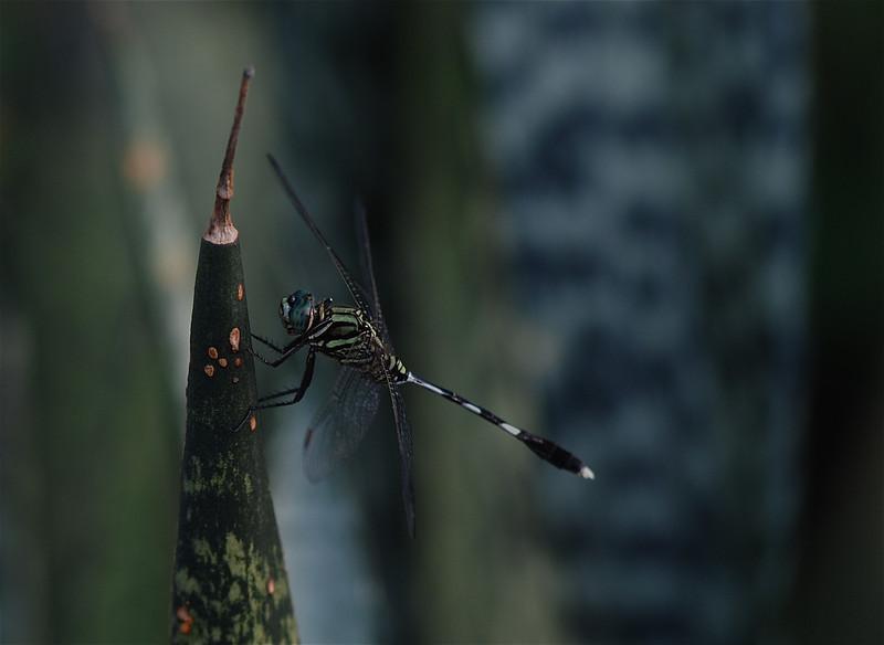 Dragonfly - Vietnam