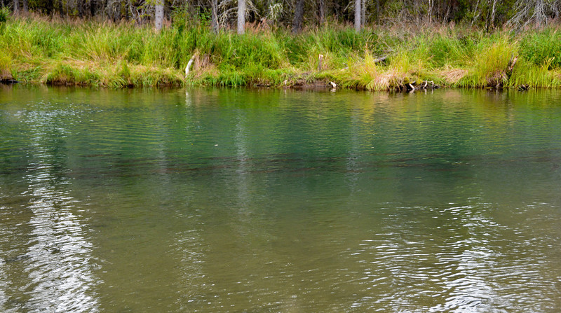 silver salmon laying in the slew..............