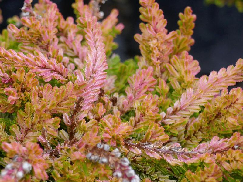 Calluna vulgaris 'Blazeaway'
